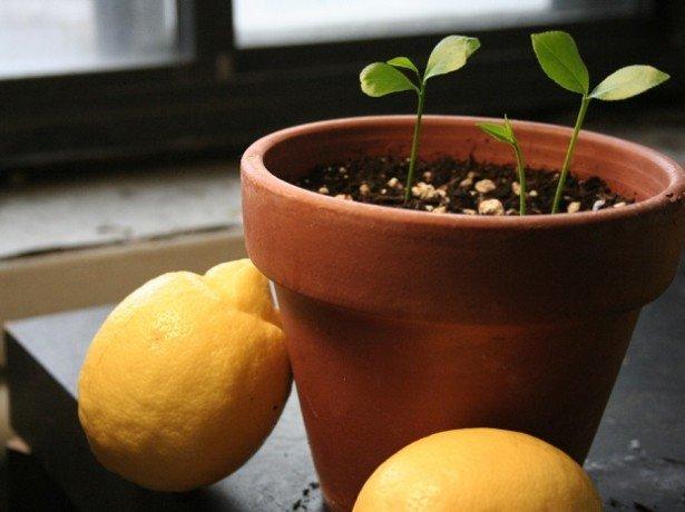 Як посадити лимон, щоб гарантовано отримати плоди?
