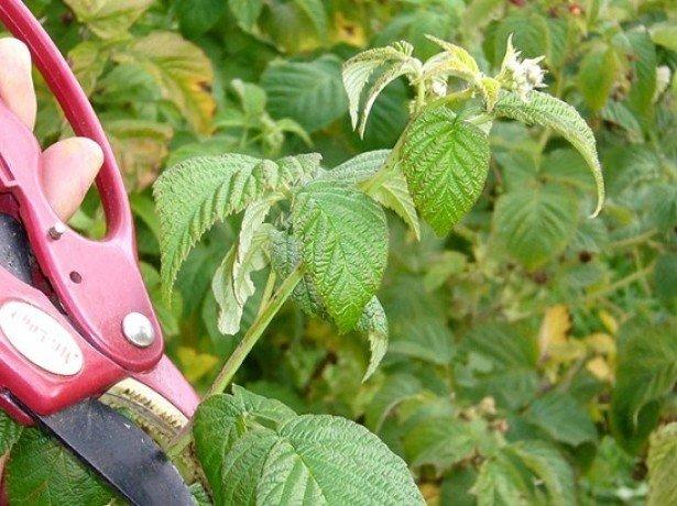Як організувати ефективний догляд за малиною восени в два етапи