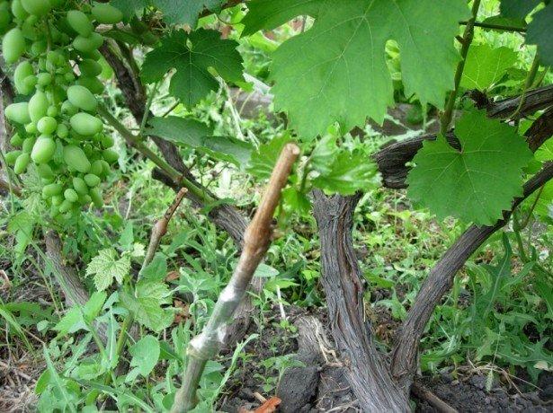Щеплення винограду як спосіб профілактики хвороб і стимулювання плодоношення і коли потрібно прищепити виноград від страшних хвороб