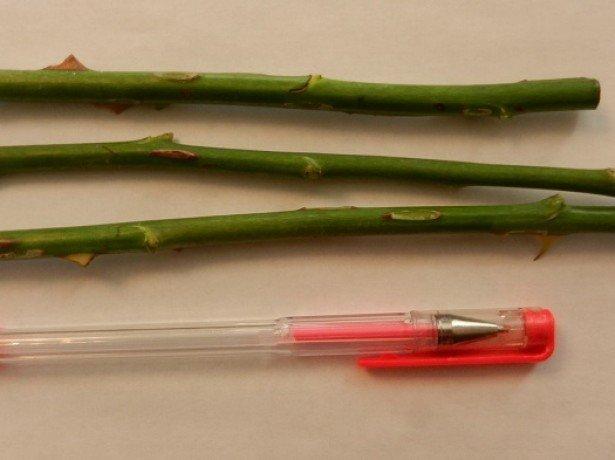 Як продовжити життя квітам з букета: чи можна виростити троянду з живців будинку