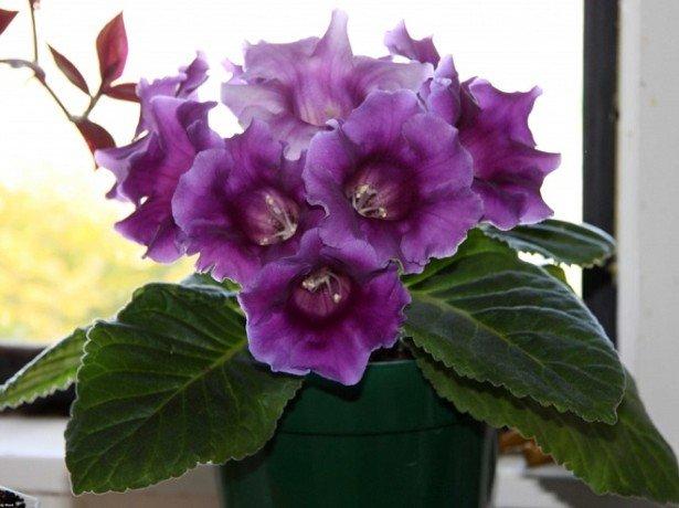 Чудова глоксинія-догляд в домашніх умовах за екзотичною квіткою амазонки