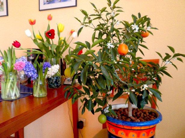 Як виростити мандарин на присадибній ділянці