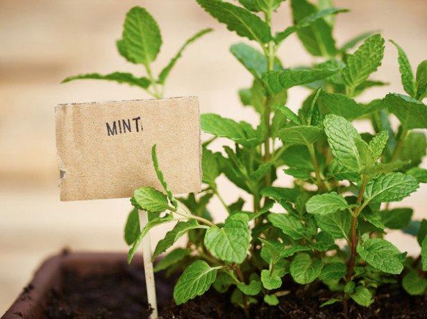 Як садити капусту на розсаду-покрокова інструкція