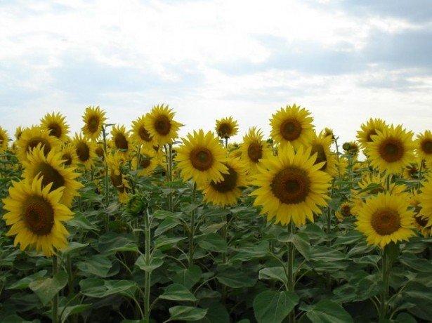 Які хвороби і шкідники загрожують соняшнику, і як захистити від них рослини?