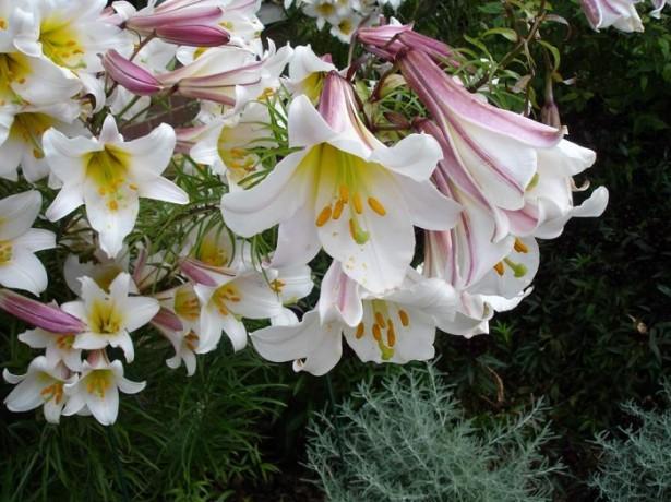 Які сорти лілії вибрати для свого квітника, і як не купити лілії, що не існують в природі