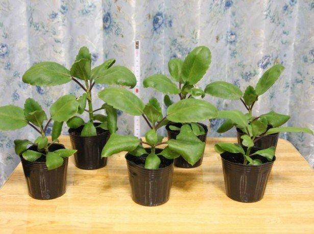 Бегонія бульбова-посадка і догляд — секрети досвідчених квітникарів