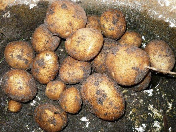 Копаємо картоплю не виходячи з дому