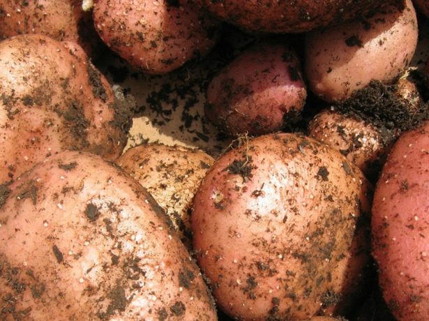 Картопля сорту жуковський: ранній урожай на вашій грядці