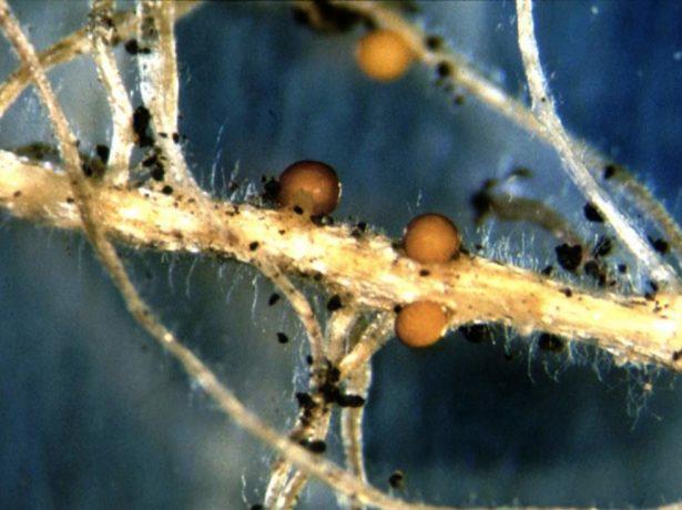 Методи боротьби з поширеними шкідниками картоплі