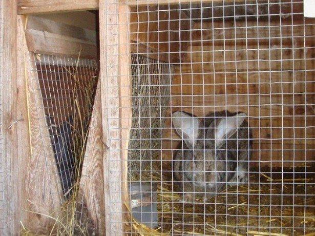 Клітини, вольєри або ями - як краще утримувати кроликів?