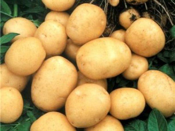 Картопля сорту фермер на вашій присадибній ділянці