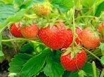 Розтріскування помідорів: основні причини і способи їх усунення