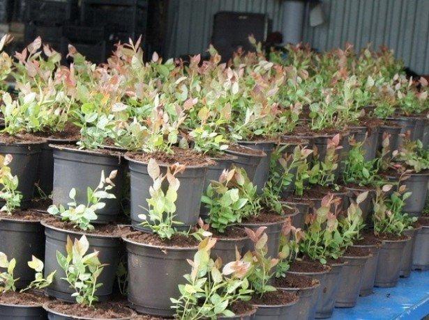 Садова журавлина-вирощування без клопоту