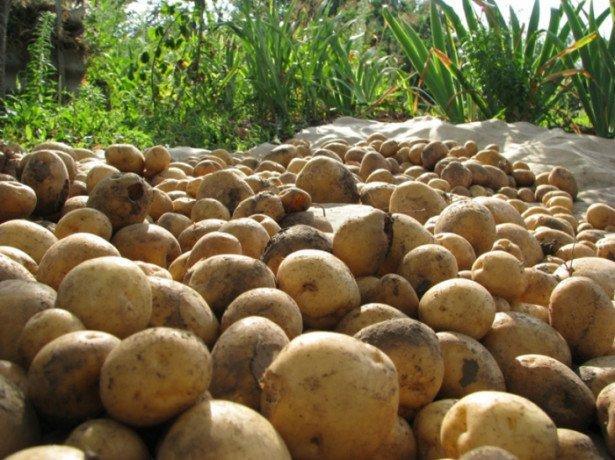 Коли починати прибирання картоплі, і чим її краще копати-лопатою або мотоблоком?