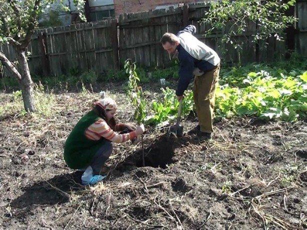 Коли садити вишню найкраще, і як зберегти придбані саджанці до посадки?