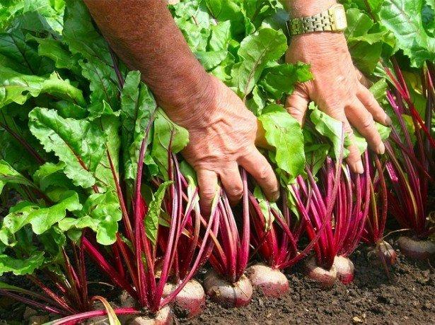 Коли прибирати урожай буряка, і на яку врожайність можна розраховувати?