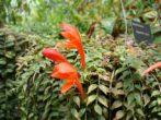 Колумнея: вирощуємо літаючу золоту рибку в домашніх умовах