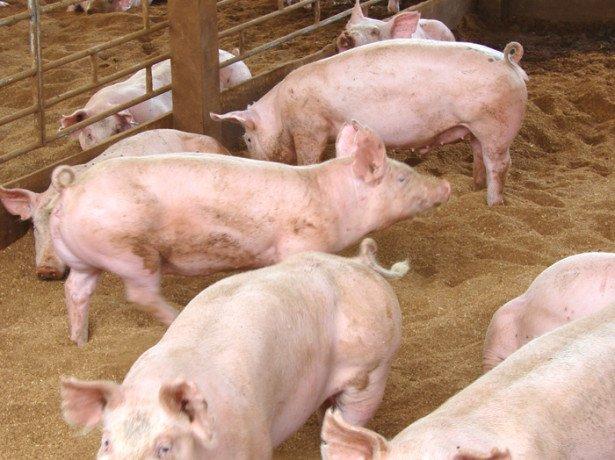 Відгодівля свиней для отримання якісної свинини