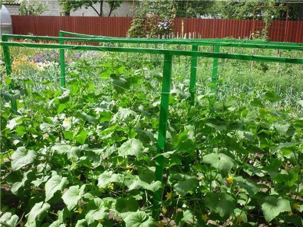 Компактне вирощування огірків в бочці і на шпалері