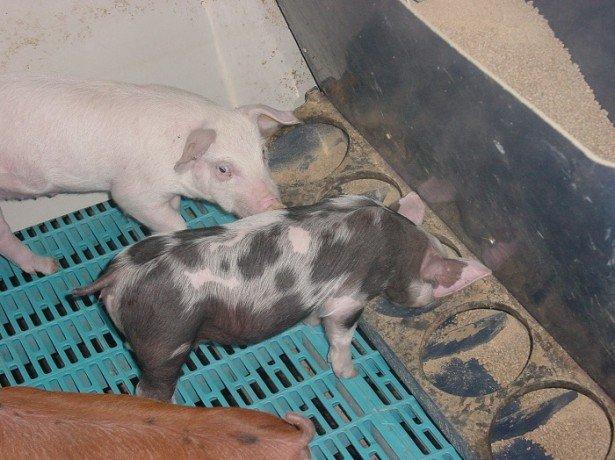 Як зробити годівниці для свиней своїми руками