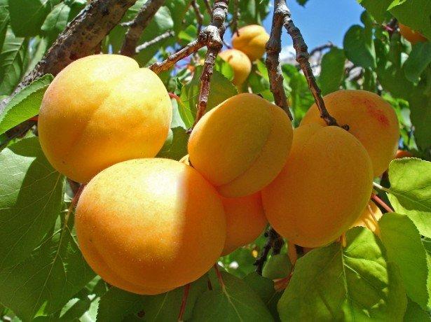 Вирощування винограду за технологією для отримання відмінного врожаю