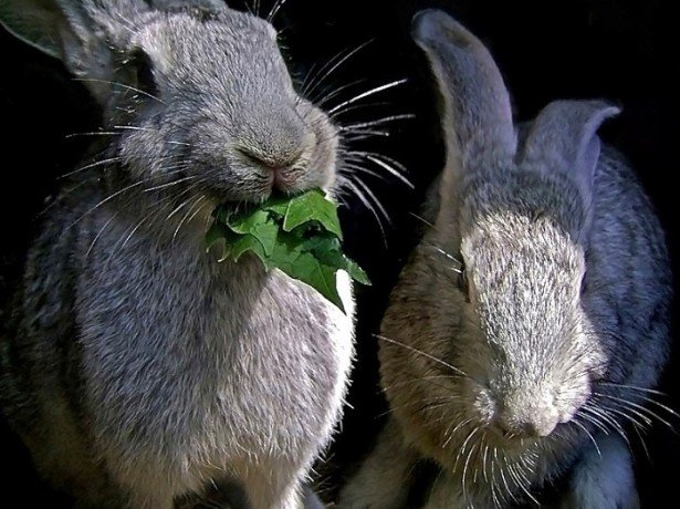 Пологи кролиці або як отримати здоровий приплід