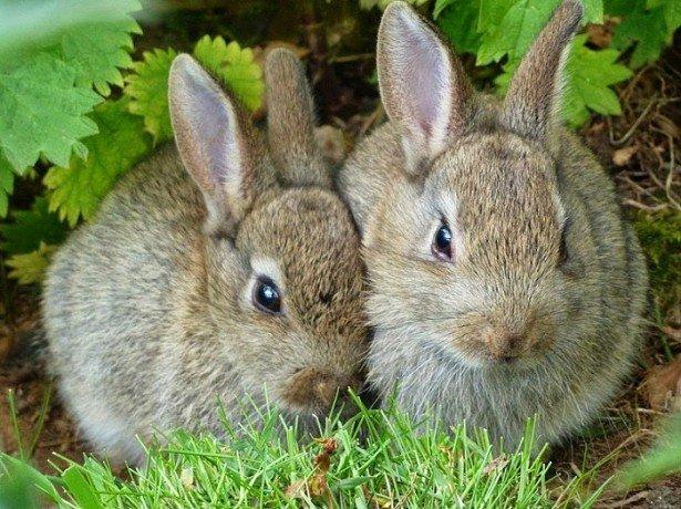 Розведення кроликів: основні правила і секрети