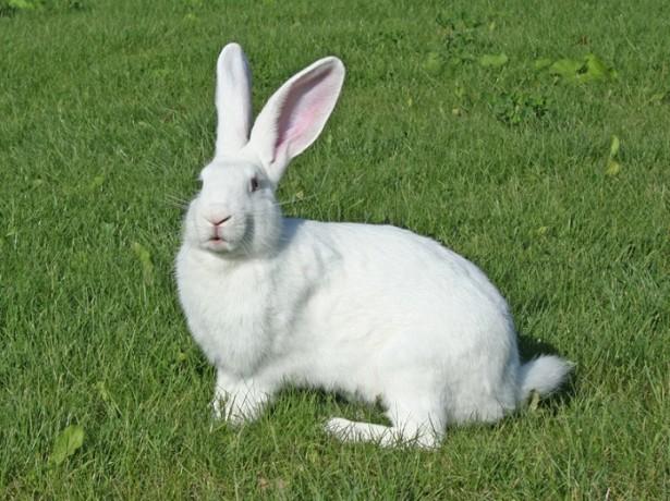 Старі, добрі фламандські кролики-велетні і їх численна рідня