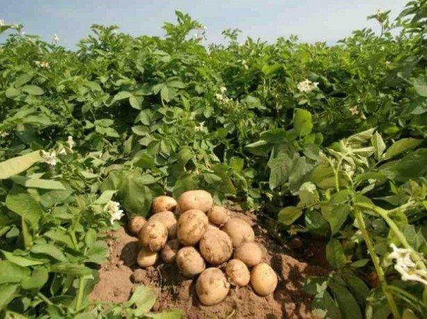 Велика картопля з маленького насіння або як розмножити картоплю насінням