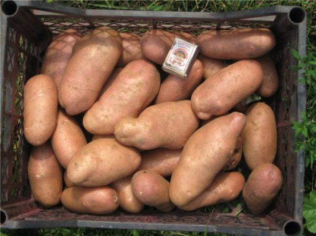 Картопля американка: агротехніка вирощування сорту