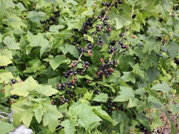 Сорт чорної смородини добриня-вітамінний подарунок спекотного літа