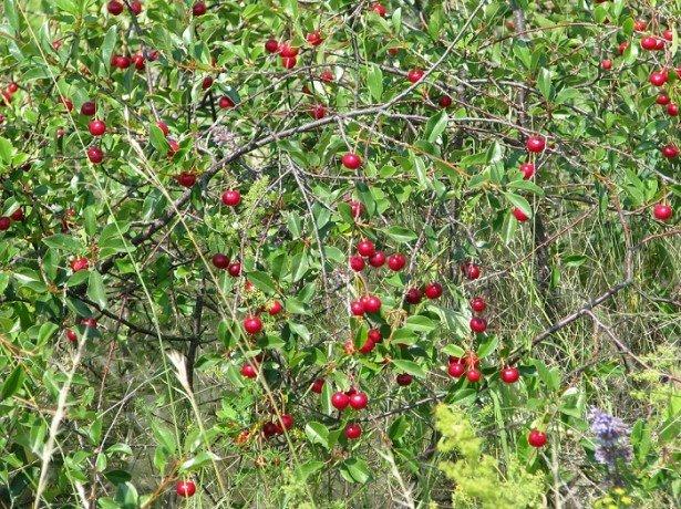 Кущова вишня або степова: особливості вирощування та догляду
