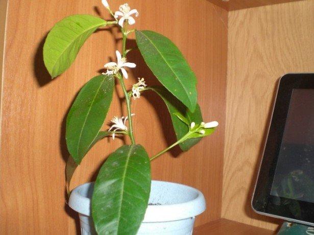 Як виростити лимон з кісточки і радувати себе домашнім урожаєм з лимончиків