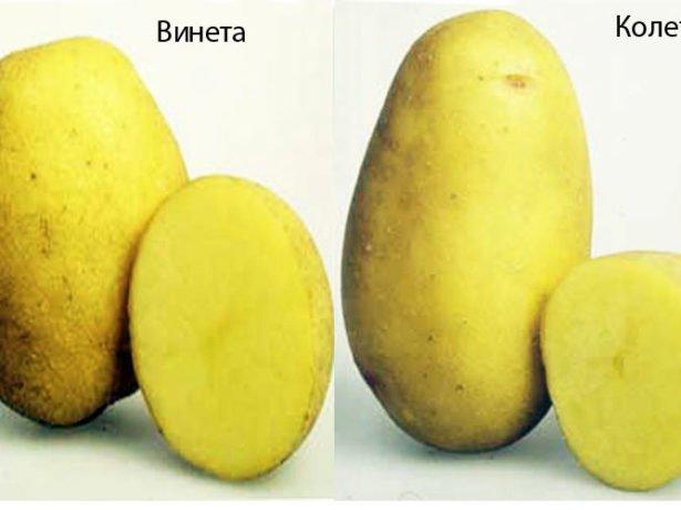 Сорт картоплі лимонка: опис і нюанси посадки