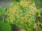 Опис партенокарпічного гібрида огірків амур f1 і способи отримання раннього врожаю
