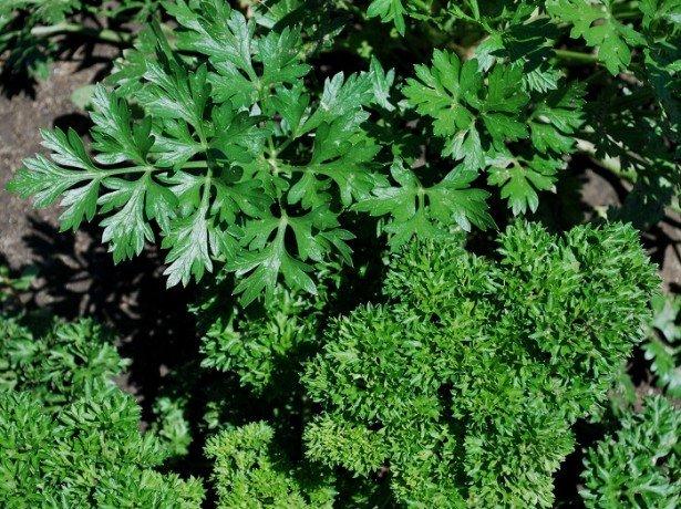 Кращі сорти петрушки кореневої і листової-кучерява, цукрова, урожайна