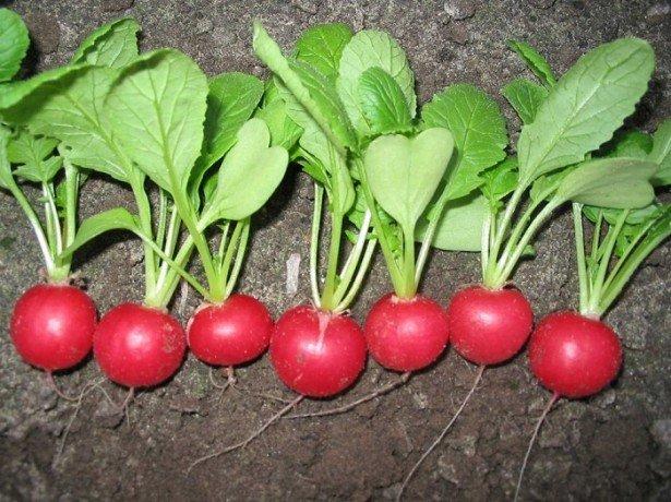 Редис селеста f1-кращий з сортів для вирощування присадибних ділянках і в теплицях