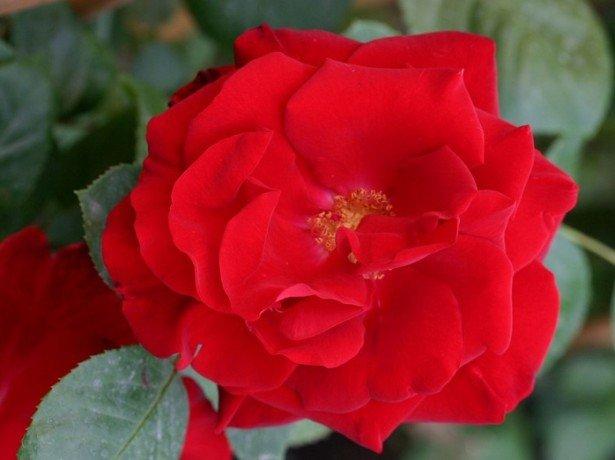 Найпопулярніші і найкращі сорти троянд для російського клімату