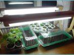 Здорова розсада-запорука високого врожаю помідорів