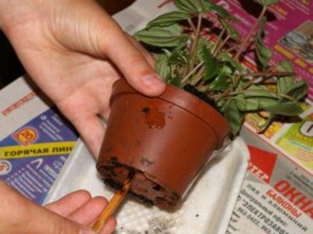 Пеперомия: догляд в домашніх умовах, особливості вирощування і розмноження