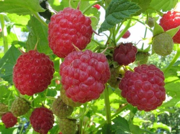 Гібрид малини і полуниці-чи варто їх вирощувати?