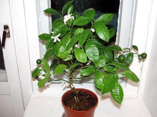Мандарин в домашніх умовах-догляд і боротьба з шкідниками