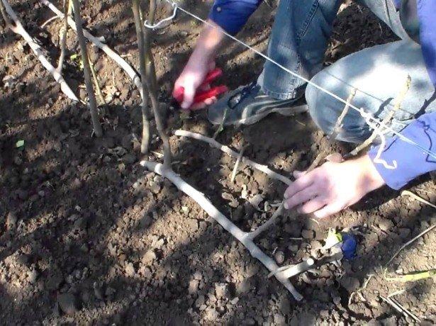 Актинідія-посадка і догляд за рослиною