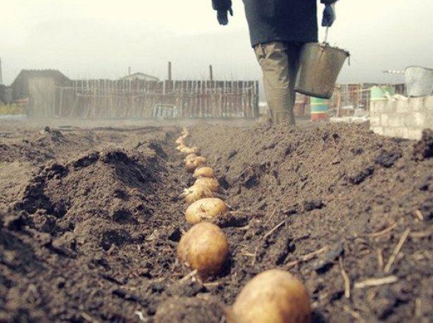 Мотоблок або лопата-яким способом садити картоплю краще?