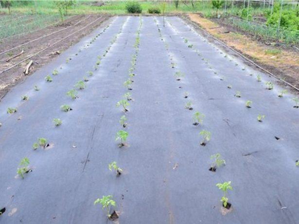 Всі хитрощі вирощування картоплі: традиційні та нові методи