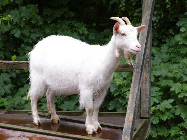Незаразні хвороби кіз, виявлення симптомів і лікування