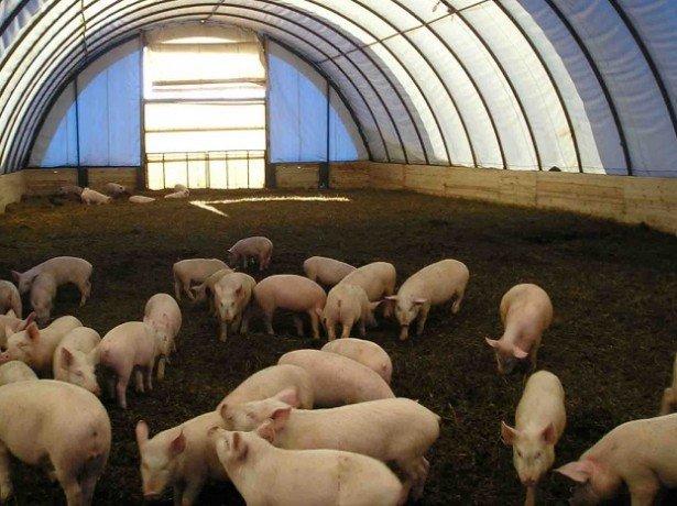 Нові технології вирощування свиней: холодне утримання, двофазна і канадська технологія