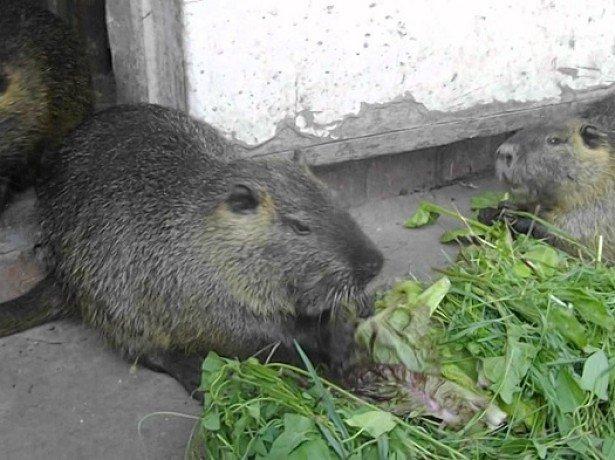 Вміст нутрій-основні правила, що сприяють здоровю тварини