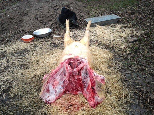 Знекровлення і оброблення туші свині за всіма правилами