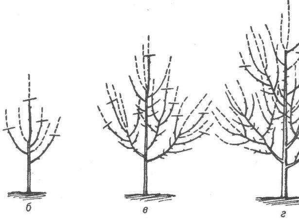 Слива яхонтова-вирощування та догляд